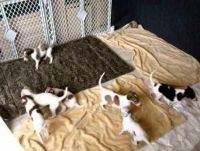 Borzoi Puppies for sale in New York, NY, USA. price: NA