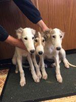 Borzoi Puppies for sale in Washington, DC, USA. price: NA