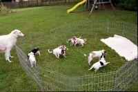 Borzoi Puppies Photos