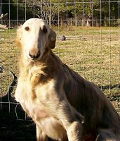 Borzoi Puppies for sale in Farnham, VA 22460, USA. price: NA