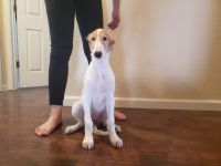 Borzoi Puppies for sale in Reno, NV, USA. price: NA
