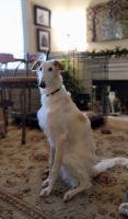Borzoi Puppies for sale in Winchester, CA, USA. price: NA