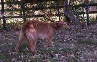 Borzoi Puppies for sale in Braselton, GA, USA. price: NA