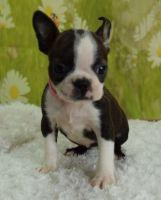 Bospin Puppies Photos
