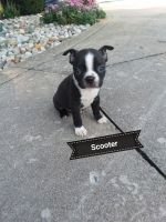 Boston Terrier Puppies for sale in Woodburn, IN 46797, USA. price: NA