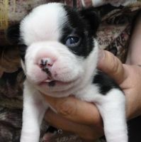 Boston Terrier Puppies for sale in Terrebonne, OR, USA. price: NA