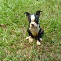 Boston Terrier Puppies Photos