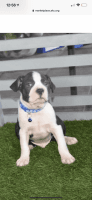 Boston Terrier Puppies for sale in Chino Hills, CA, USA. price: NA