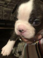 Boston Terrier Puppies for sale in Martinsville, VA 24112, USA. price: NA
