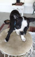 Boston Terrier Puppies for sale in Hanahan, SC, USA. price: NA