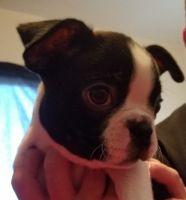 Boston Terrier Puppies for sale in Modesto, CA, USA. price: NA