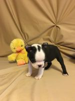 Boston Terrier Puppies for sale in Pleasantville, PA 15521, USA. price: NA