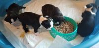 Boston Terrier Puppies for sale in Vicksburg, MS, USA. price: NA