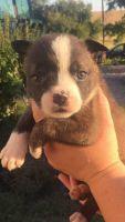 Boston Terrier Puppies for sale in Scribner, NE 68057, USA. price: NA