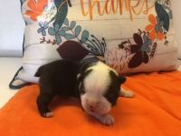 Boston Terrier Puppies for sale in Squaw Valley, CA, USA. price: NA