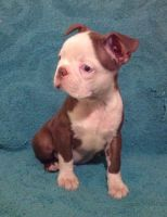 Boston Terrier Puppies for sale in Memphis, TN, USA. price: NA
