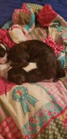 Boston Terrier Puppies for sale in Port Richey, FL, USA. price: NA