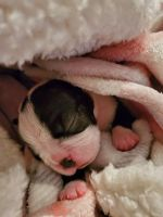 Boston Terrier Puppies for sale in Portland, IN 47371, USA. price: NA
