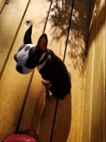 Boston Terrier Puppies for sale in 120 Arrowhead Dr, Hot Springs, AR 71913, USA. price: NA