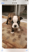 Boston Terrier Puppies for sale in Victorville, CA, USA. price: NA