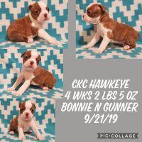 Boston Terrier Puppies for sale in Breaux Bridge, LA 70517, USA. price: NA