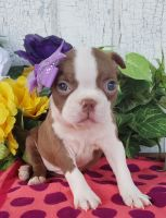 Boston Terrier Puppies for sale in Grabill, IN 46741, USA. price: NA