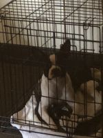 Boston Terrier Puppies for sale in Rockville, MD, USA. price: NA
