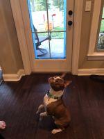 Boston Terrier Puppies for sale in Bossier City, LA, USA. price: NA