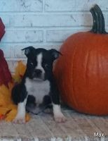 Boston Terrier Puppies for sale in Cleveland, NC 27013, USA. price: NA