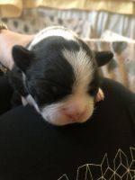 Boston Terrier Puppies for sale in Brooklyn, NY, USA. price: NA