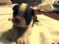 Boston Terrier Puppies for sale in Grand Rapids, MN 55744, USA. price: NA