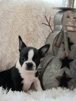 Boston Terrier Puppies for sale in West Plains, MO 65775, USA. price: NA