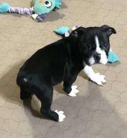 Boston Terrier Puppies for sale in Atlantic Station, Atlanta, GA, USA. price: NA
