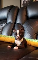 Boston Terrier Puppies for sale in Indianapolis, IN 46260, USA. price: NA