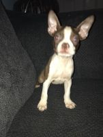 Boston Terrier Puppies for sale in Chillicothe, OH 45601, USA. price: NA
