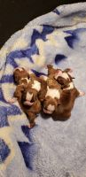 Boston Terrier Puppies for sale in St. Louis, MO, USA. price: NA