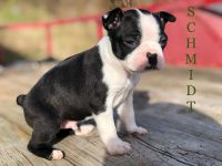 Boston Terrier Puppies for sale in Granby, MO 64844, USA. price: NA