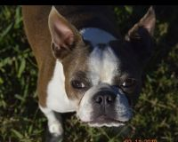 Boston Terrier Puppies for sale in Monroe, NC 28110, USA. price: NA