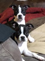 Boston Terrier Puppies for sale in Santee, CA, USA. price: NA