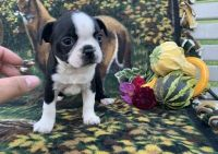 Boston Terrier Puppies for sale in Helena, MT, USA. price: NA