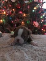 Boston Terrier Puppies for sale in Cave City, KY 42127, USA. price: NA