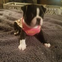 Boston Terrier Puppies for sale in Denver, CO, USA. price: NA