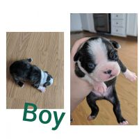 Boston Terrier Puppies for sale in Prineville, OR 97754, USA. price: NA