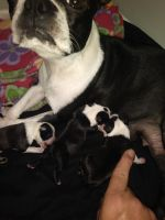 Boston Terrier Puppies for sale in 27103 Wakefield Dr, Brooksville, FL 34602, USA. price: NA