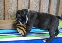 Boston Terrier Puppies for sale in 114-34 121st St, Jamaica, NY 11420, USA. price: NA