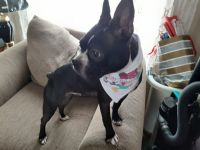 Boston Terrier Puppies for sale in Findlay, OH 45840, USA. price: NA