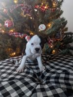 Boston Terrier Puppies for sale in Battle Creek, MI, USA. price: NA