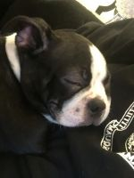 Boston Terrier Puppies for sale in Belleville, NJ, USA. price: NA