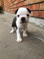Boston Terrier Puppies for sale in 130 W 96th St, Cut Off, LA 70345, USA. price: NA