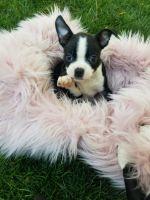 Boston Terrier Puppies for sale in Nuevo, CA 92567, USA. price: NA